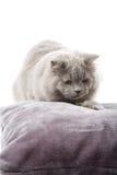 Portrait of cute british kitten isolated Stock Photos