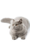 Portrait of cute british kitten isolated Stock Images
