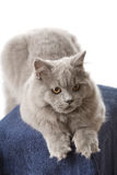 Portrait of cute british kitten isolated Stock Photography