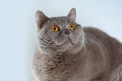 Portrait cute British Shorthair Cat with bright orange eyes lying and looking up on white background stock images