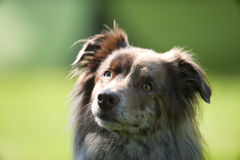 Portrait of cute brown Border Collie. Portrait of red merle Border Collie. He is looking with cute expression Stock Photos