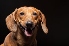 Portrait of cute brown dachshund dog isolated on black Royalty Free Stock Photos