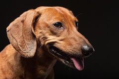 Portrait of cute brown dachshund dog isolated on black Stock Photo