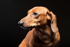 Portrait of cute brown dachshund dog isolated Royalty Free Stock Images