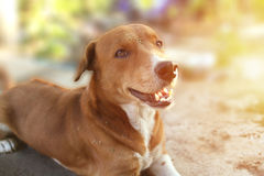 Portrait of a cute brown dog. Portrait of a cute brown dog outdoor Royalty Free Stock Photo