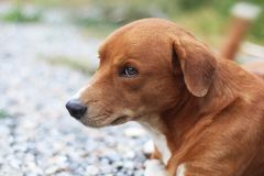 Portrait of a cute brown dog. Portrait of a cute brown dog outdoor in yard Stock Photography