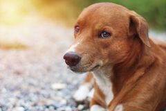 Portrait of a cute brown dog. Portrait of a cute brown dog outdoor in yard Royalty Free Stock Photography