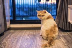Exotic shorthair cat in luxury condo. Portrait of Cute Brown Exotic shorthair cat near window of luxury condo with sunset bokeh light. Adorable animal or pet Royalty Free Stock Image