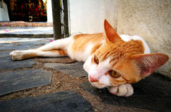 Portrait of cute brown-eyed cat is lying on gray concrete backgr. Ound, close up Stock Photography