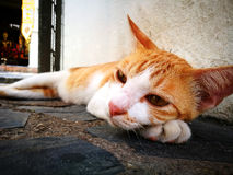 Portrait of cute brown-eyed cat is lying on gray concrete backgr. Ound, close up Royalty Free Stock Photo