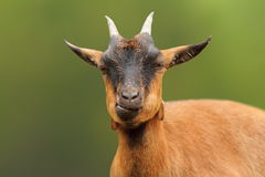 Portrait of cute brown goat Stock Photo