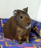Portrait of a cute brown guinea pig close up stock photos
