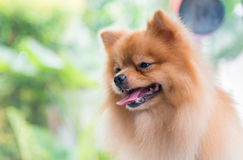 Portrait of cute brown pomeranian dog Stock Image