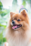 Portrait of cute brown pomeranian dog Royalty Free Stock Images