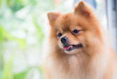 Portrait of cute brown pomeranian dog Stock Photos