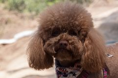 Portrait of cute brown poodle outside on sunny day, blured background stock photography