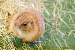 A portrait of Cute brown Prairie Dog standing alone on a green grass. A beautiful portrait of Cute brown Prairie Dog standing alone on a green grass Royalty Free Stock Images