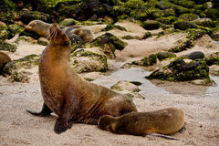 Portrait of cute brown sea lion with baby in San Stock Image