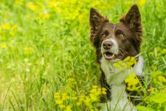 Portrait of cute brown and white border collie dog royalty free stock photo