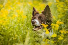 Portrait of cute brown and white border collie dog. With mouth open showing teeth hiding in lush green grass with yellow flowers. Sunny summer day in a meadow stock photo