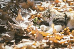 Portrait of a cute cat with beautiful eyes playing on fallen leaves in the autumn forest. Portrait of a cute cat with beautiful eyes playing on fallen leaves in royalty free stock photo