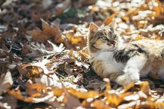 Portrait of a cute cat with beautiful eyes playing on fallen leaves in the autumn forest. Portrait of a cute cat with beautiful eyes playing on fallen leaves in stock image