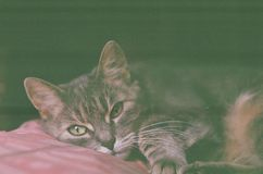 Portrait of a cute cat lying on a pillow, photo taken on camera roll, retro effect. Portrait of a cute cat lying on a pillow, photo taken on camera roll, retro royalty free stock photography