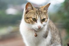 Portrait Cute cat sitting in front of the house Is a cute pet and good habits. Portrait Cute cat sitting in front of the house Is a cute pet and good royalty free stock image
