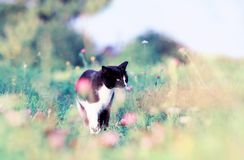 Portrait of a cute cat walking on a lush green meadow on a warm summer evening and sniffing the flowers of fragrant pink clover. Cute cat walking on a lush green royalty free stock photos