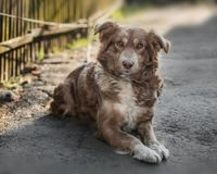 Portrait of cute chained brown or red dog lying or resting on old village yard next to wooden fence in shadow. The dog looks into stock photography
