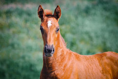 Portrait of cute chestnut foal Stock Images
