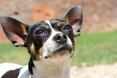 Portrait of cute chihuahua Royalty Free Stock Photography