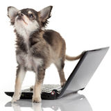 Portrait of a cute chihuahua dog. In front of a laptop on white background royalty free stock photo