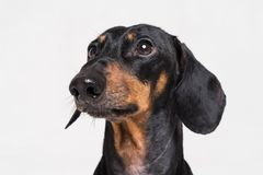 Portrait cute close-up of Dachshund, black and tan, isolated on gray background stock photos
