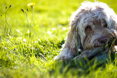 Portrait of a Cute Puppy Chewing Bone in a Grass Field Royalty Free Stock Images