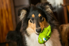 Portrait of a cute collie with it's toy Royalty Free Stock Photography
