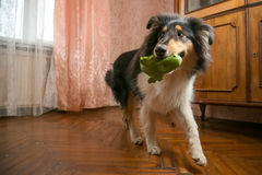 Portrait of a cute collie with it's toy Royalty Free Stock Photo