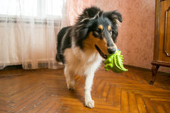Portrait of a cute collie with it's toy Royalty Free Stock Image