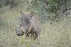 Portrait of a cute common Warthog or Phacochoerus africanus in a game reserve royalty free stock photo
