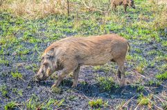 Portrait of a cute common Warthog or Phacochoerus africanus in a game reserve royalty free stock photos