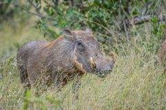 Portrait of a cute common Warthog or Phacochoerus africanus in a game reserve royalty free stock photography