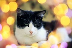 Portrait of contented cat lying on the floor surrounded by bright festive glitter and circles of light. Portrait of cute contented cat lying on the floor royalty free stock photos