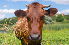 Portrait of cute cow with broken horn Royalty Free Stock Photography