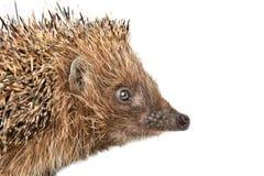 Portrait of a cute curious hedgehog royalty free stock photos