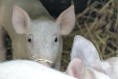 Portrait of cute curious white pink piglet looking into camera. Farm animal royalty free stock images