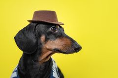 Portrait of cute dachshund dog, black and tan,   holding brown hat on head on  bright yellow background. Beach style royalty free stock images