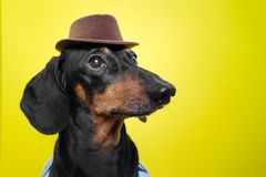 Portrait of cute dachshund dog, black and tan,   holding brown hat on head on  bright yellow background. Beach style stock photo