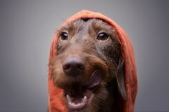 Portrait of a cute Dachshund puppy in orange clothes. Studio shot, isolated on grey Stock Photo