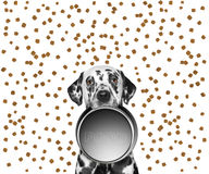 Portrait of a cute dalmatian and his food bowl Stock Images