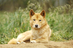 Portrait of a Cute Dingo stock image